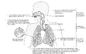 respiratory system diagram worksheet with word bank