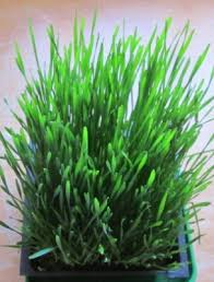how to grow wheatgrass for easter vegetable gardener
