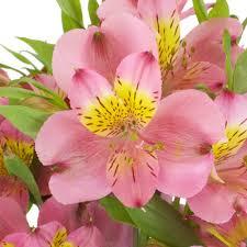 peruvian lilies raspberry pink peruvian lilies