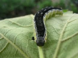 freezing catalpa worms