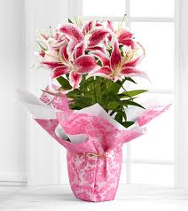 Lily Plant Pink Lily Flowering Plant Gift Next Day Delivery