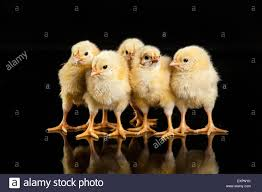 Small Chicken Bird Animals Chicken Poultry Animal Isolated Pets Birds Livestock