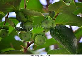 Persimmon Flower - persimmon bud stock photos u0026 persimmon bud stock images alamy