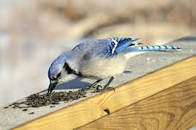 blue jay information facts pictures and bird feeding tips