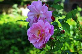 blooms flowers free photo nature flower blooms flowers pink max pixel