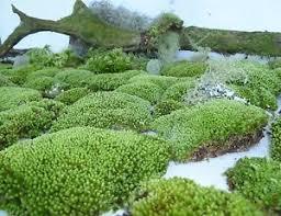 gallon bag star moss terrarium gecko bonsai garden dart frog live