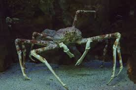 facts about spider crabs that are insanely bizarre