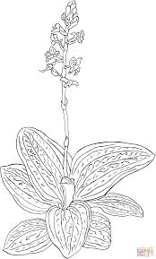 ludisia discolor or black jewel orchid coloring page free