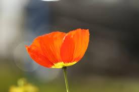 file lone california poppy jpg wikimedia commons