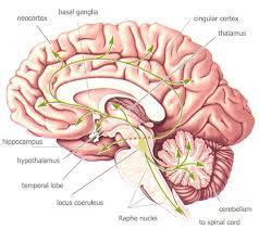 Role Of Brain Stem Bio 342 Fall 06