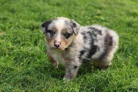 australian shepherd with tail for sale miniature australian shepherd puppies in hoobly classifieds
