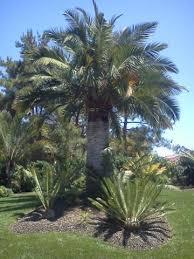 jubaea chilensis the chilean wine palm