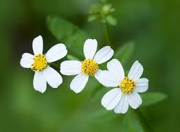 native plant society florida florida native plant society blog wednesday u0027s wildflower spanish