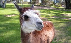 7 amazing things you can train an alpaca to do modern farmer