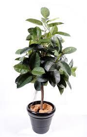 Inside Plants by Ficus Tree Ficus Elastica Rubber Plant Tree Dim 110 Couleur Vert