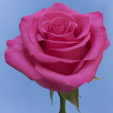 hot pink roses buy hot pink roses flower delivery global