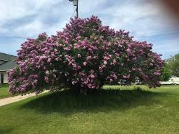 largest lilac tree in michigan ask an expert