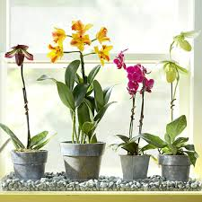 orchids care how to care for orchids premium quality orchids grower and
