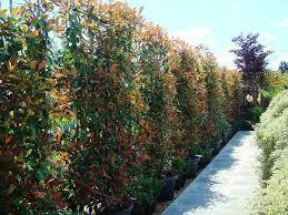 Non Invasive Climbing Plants - climbing plants best evergreen climbers uk garden centre