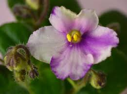 flowers and plants ness angel eyes semi miniature african violet flowers and plants