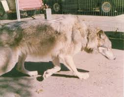 my dad tried to tame a wolf vice