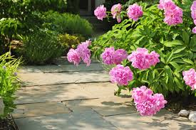 Flowering Shrubs New England - peony care tips to grow healthy peonies new england today