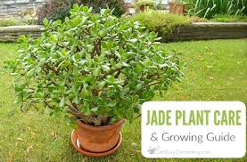 Plant Care Tips How To Care For A Jade Plant