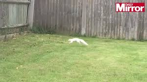 couple u0027s shock as they film rare white squirrel in their backyard