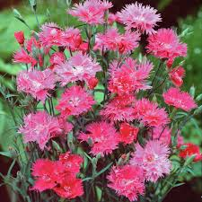 hardy annual seeds thompson u0026 morgan