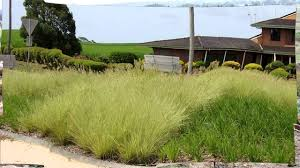 planting native grasses pennstripe is a beautiful variegated native grass ornamental