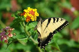 free photo tiger butterfly swallowtail tiger swallowtail max pixel