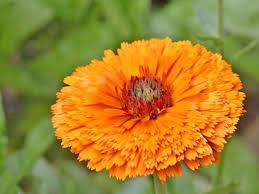 Calendula Flowers Pot Marigold Calendula Growing And Care Guide