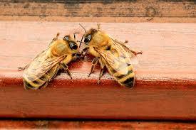 how bees use pheromones perfectbee