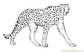 beautiful animal drawings realistic cheetah coloring pages