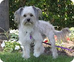 hair cuts for the tebelan terrier newport beach ca tibetan terrier meet amelia a dog for adoption