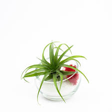 baby egg modern air plant terrarium diy kit juicykits com