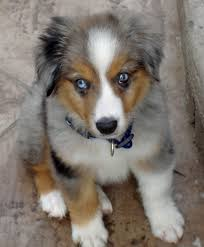 australian shepherd dog for sale miniature australian shepherd dog puppy dog gallery