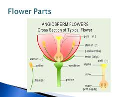 Part Of Flowers - students will be able to identify the 6 main parts of a flower