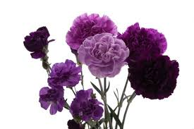 Purple Carnations The Flower Symbolism At A Glance U2013 The Flowers Get To Know Closer