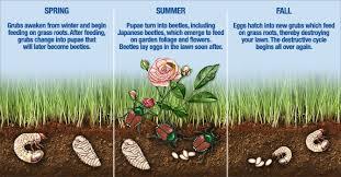 how to easily remove grubs in vegetable garden garden loka
