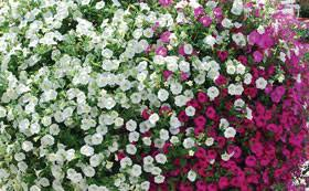 flower plants flower bulbs plants and seeds for uk sale at van meuwen