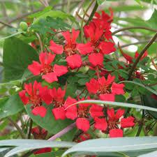 fleurs vivaces rustiques capucine vivace rouge sang tropaeolum speciosum