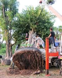 hipone thai nursery thailand palm tree ornamental tree plant