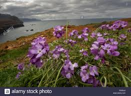Madeira Flowers - changeable wall flowers erysimum mutabile in flower on cliff top
