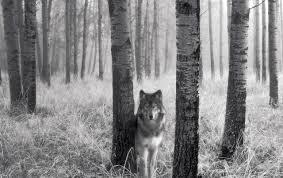 imagenes de fondo de pantalla lobos el acecho del lobo fondos de pantalla el acecho del lobo fotos gratis
