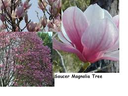 hametownshoppes gardener magnolias great flowering trees for the