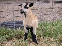 breeds of livestock barbados blackbelly sheep u2014 breeds of
