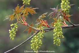 Cottonwood Tree Flowers - acer macrophyllum big leaf maple tree flower and leaves