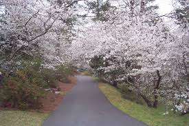 Cherry Blossom Facts by Top 5 Facts About Macon U0027s Cherry Blossom Trees Top 5 About Macon