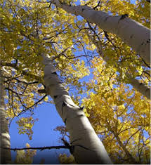 buy affordable quaking aspen trees at our nursery